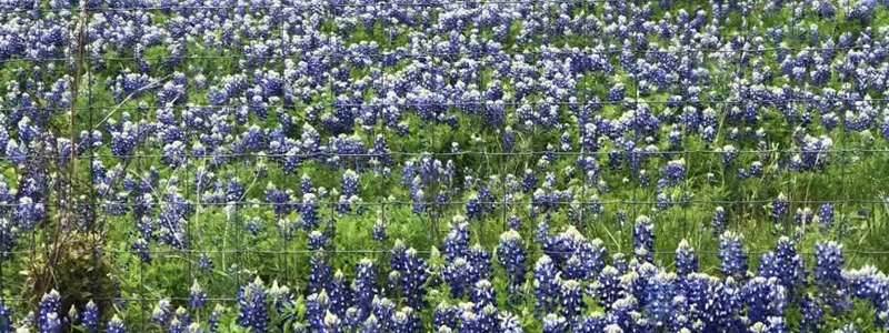Dallas Bluebonnets Spots